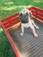 Great Dane Puppies for sale in New Haven, IN 46774, USA. price: NA