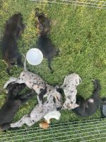 Great Dane Puppies for sale in Hyattsville, MD, USA. price: NA