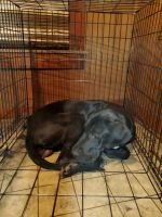 Great Dane Puppies for sale in Sheffield, AL 35660, USA. price: NA