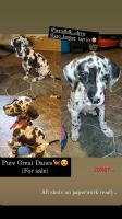 Great Dane Puppies for sale in 7725 Gleason Rd, Houston, TX 77016, USA. price: NA