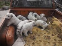 Great Pyrenees Puppies for sale in Bulls Gap, TN 37711, USA. price: NA