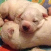 Great Pyrenees Puppies for sale in Ohio, USA. price: NA
