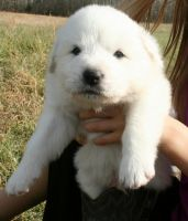 Great Pyrenees Puppies for sale in Nashville, TN, USA. price: NA