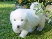 Great Pyrenees Puppies for sale in Alaska, USA. price: NA
