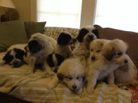 Great Pyrenees Puppies for sale in Tignall, GA 30668, USA. price: NA