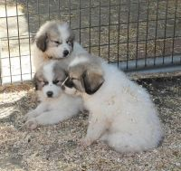 Great Pyrenees Puppies for sale in Anchorage, AK, USA. price: NA