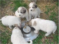 Great Pyrenees Puppies for sale in Miami, FL, USA. price: NA