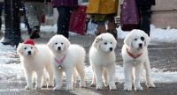 Great Pyrenees Puppies for sale in Boise, ID, USA. price: NA