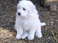 Great Pyrenees Puppies for sale in Columbus, MT 59019, USA. price: NA