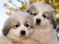 Great Pyrenees Puppies for sale in Lamoure, ND 58458, USA. price: NA