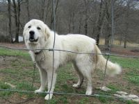 Great Pyrenees Puppies for sale in Lewisburg, TN 37091, USA. price: NA