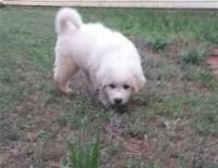 Great Pyrenees Puppies for sale in Los Angeles, CA, USA. price: NA