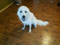 Great Pyrenees Puppies for sale in San Antonio, TX, USA. price: NA
