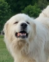 Great Pyrenees Puppies for sale in Ironton, OH, USA. price: NA