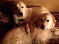 Great Pyrenees Puppies for sale in Springfield, OH 45502, USA. price: NA