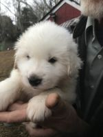 Great Pyrenees Puppies for sale in Washington, DC, USA. price: NA