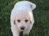 Great Pyrenees Puppies for sale in Austin, TX, USA. price: NA
