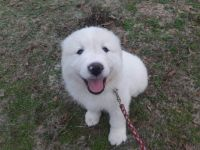 Great Pyrenees Puppies for sale in Cordova, AL 35550, USA. price: NA