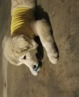 Great Pyrenees Puppies for sale in S Las Vegas Blvd, Las Vegas, NV 89102, USA. price: NA