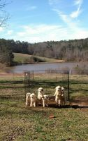 Great Pyrenees Puppies for sale in Carrollton, GA, USA. price: NA
