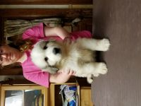 Great Pyrenees Puppies for sale in Le Roy, NY 14482, USA. price: NA