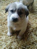 Great Pyrenees Puppies for sale in Yakima, WA, USA. price: NA
