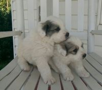 Great Pyrenees Puppies for sale in Monroe, NC, USA. price: NA