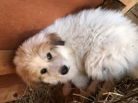 Great Pyrenees Puppies for sale in Galion, OH 44833, USA. price: NA