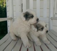Great Pyrenees Puppies for sale in Austin St, Corpus Christi, TX, USA. price: NA