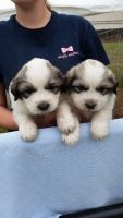Great Pyrenees Puppies for sale in Reddick, FL 32686, USA. price: NA