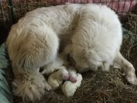 Great Pyrenees Puppies for sale in Butler, PA, USA. price: NA