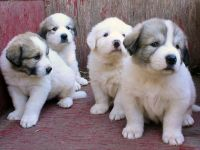 Great Pyrenees Puppies for sale in 58503 Rd 225, North Fork, CA 93643, USA. price: NA