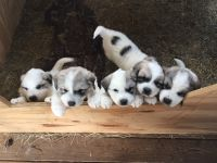 Great Pyrenees Puppies for sale in Wingo, KY 42088, USA. price: NA