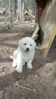 Great Pyrenees Puppies for sale in New Castle, VA 24127, USA. price: NA