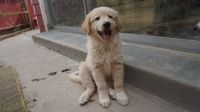 Great Pyrenees Puppies for sale in Maricopa, CA 93252, USA. price: NA