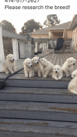 Great Pyrenees Puppies for sale in Fort Myers, FL, USA. price: NA