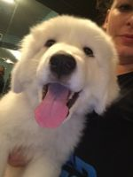 Great Pyrenees Puppies for sale in Orlando, FL, USA. price: NA