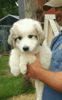 Great Pyrenees Puppies for sale in Shelby, NC, USA. price: NA