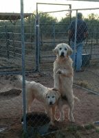 Great Pyrenees Puppies for sale in Wittmann, AZ 85361, USA. price: NA