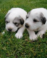 Great Pyrenees Puppies for sale in Tecate, CA 91987, USA. price: NA