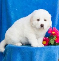 Great Pyrenees Puppies for sale in Texas Ave, Houston, TX, USA. price: NA