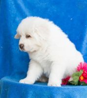 Great Pyrenees Puppies for sale in Nevada St, Newark, NJ 07102, USA. price: NA
