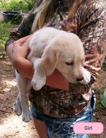 Great Pyrenees Puppies for sale in Van Vleck, TX 77482, USA. price: NA