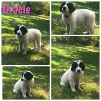 Great Pyrenees Puppies for sale in Morgantown, IN 46160, USA. price: NA