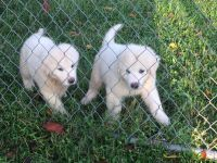 Great Pyrenees Puppies for sale in Polk City, FL 33868, USA. price: NA