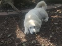 Great Pyrenees Puppies for sale in Munfordville, KY 42765, USA. price: NA