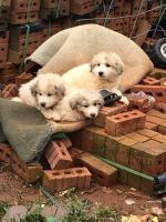Great Pyrenees Puppies for sale in Asheboro, NC, USA. price: NA