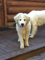 Great Pyrenees Puppies for sale in Menominee, MI 49858, USA. price: NA