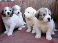 Great Pyrenees Puppies for sale in New York, NY, USA. price: NA