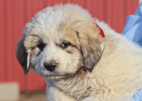 Great Pyrenees Puppies for sale in Louisville, KY, USA. price: NA